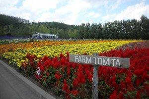 La célèbre Ferme Tomita de Furano