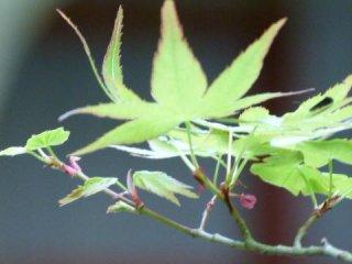 quiet momiji leaves