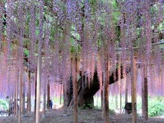 Деревья фудзи особенно красивы вечером, с подсветкой