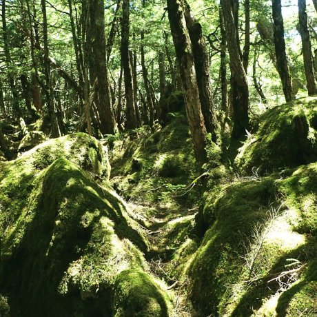 Koke no Mori – The Moss Forest