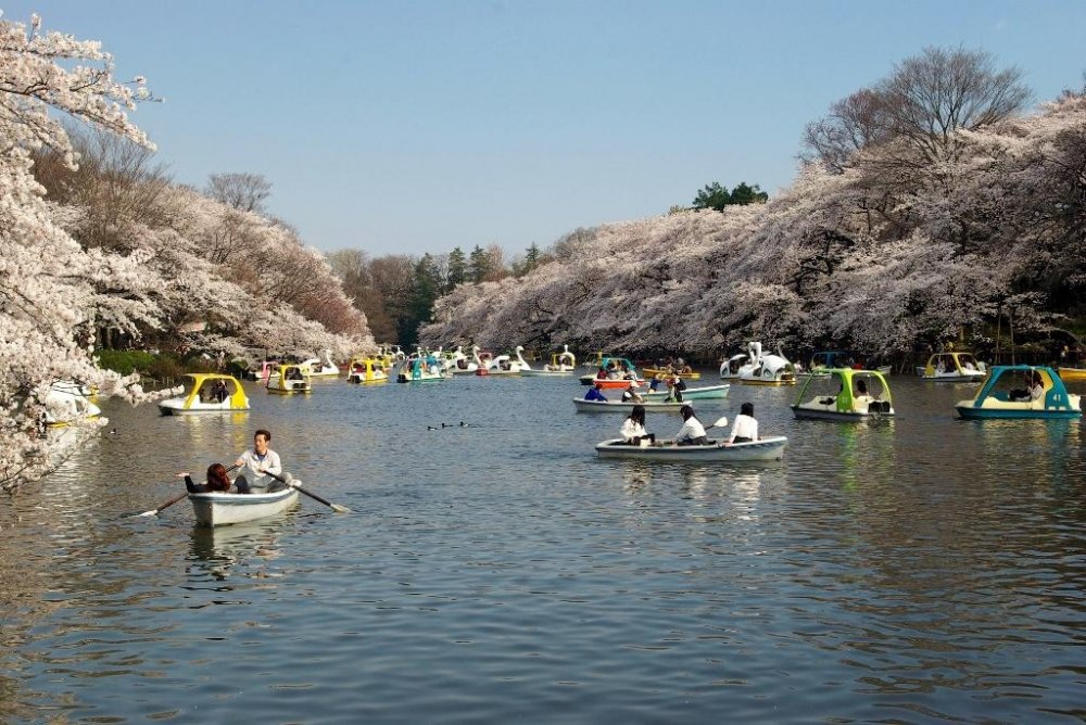 A boat can be hired to enjoy the cherry blossoms from the pond