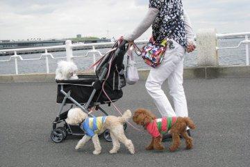 Собачек выгуливают в колясках
