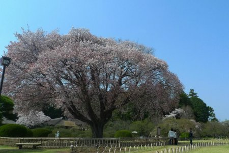 Taman Kairakuen di Musim Semi