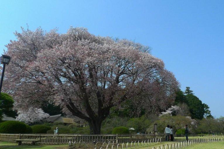 Kairakuen Garden in Spring