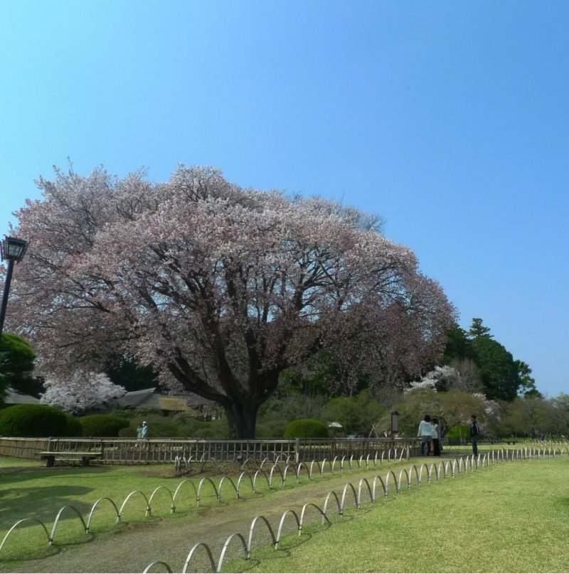 A magnificent cherry blossom tree