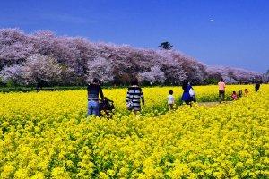 งานเทศกาลดอกซากุระซัตเตะ