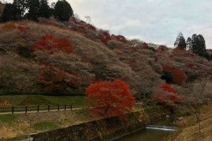 The beautiful shikizakura bloom in autumn, at the same time as the fall leaves turn red