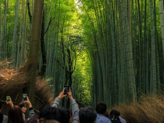 People on vacation taking some shots of the tall and mesmerizing bamboo trees at Arashiyama Bamboo Grove in Kyoto Prefecture,