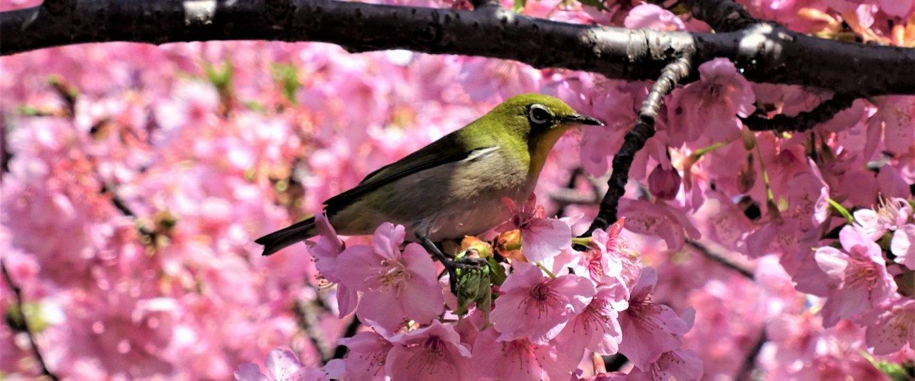 นกเมะจิโระ (mejiro) หรือนกตาขาวญี่ปุ่น (Japanese white-eye) ท่ามกลางดอกซากุระ