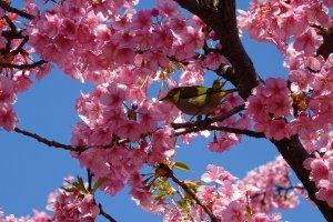 ดอกซากุระพันธ์บานเร็วจะมีสีชมพูที่เข้มกว่าซากุระทั่วไป