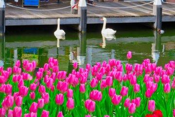Лебеди и тюльпаны