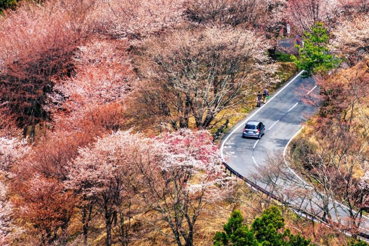 Hoa anh đào trên núi Yoshino