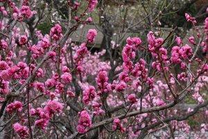 ดอกพลัมญี่ปุ่นเป็นดอกไม้แห่งปลายฤดูหนาวและต้นฤดูใบไม้ผลิ ซึ่งจะพากันเบ่งบานในต้นเดือนกุมภาพันธ์