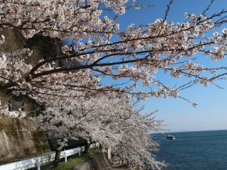 ดอกซากุระเบ่งบานเหนือทะเลสาบ