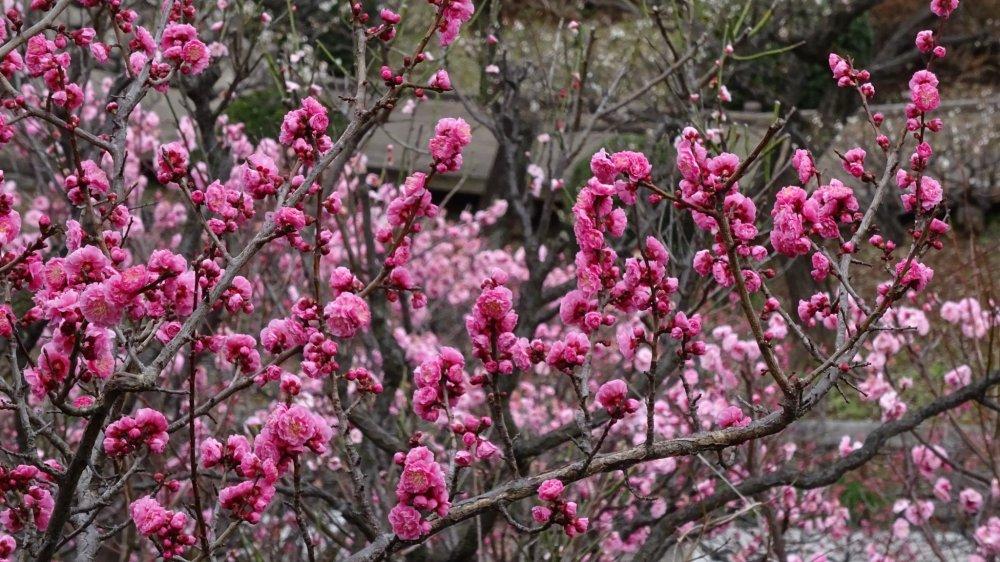 'พลัมญี่ปุ่น' มีชื่อทางวิทยาศาสตร์ว่า Prunus mume ซึ่งในภาษาไทยมีบางคนเรียกว่า 'ดอกบ๊วย'