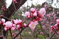 ดอกพลัมในสวนของเขตโอตะ โตเกียว