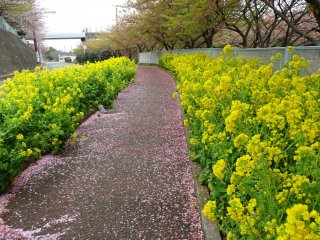 พรมกลีบดอกซากุระขนาบด้วยดอกเรฟซีดสองข้างทาง