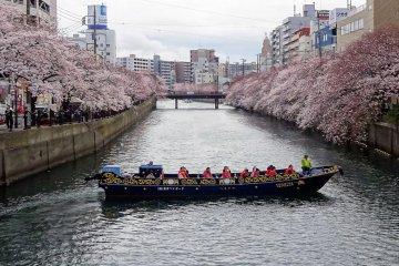 โซะเม โยะชิโนะ (Somei Yoshino) ซากุระ ที่แม่น้ำโอะโอะคะกะวะ (Ookagawa) โยโกฮะมะ