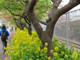 สีเหลืองจัดจ้านของดอกเรฟซีดสองข้างทางนั้น ช่างสวยเบิกบานเสียจริงๆ