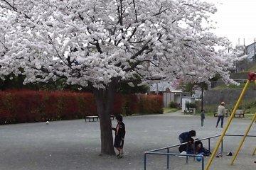 외로이 버티는 벚꽃 나무