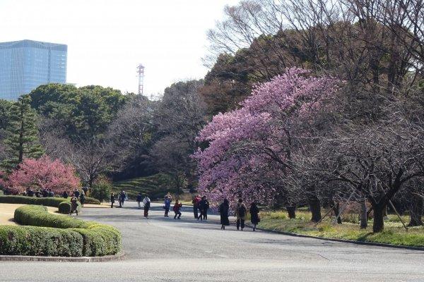 ต้นซากุระพันธ์บานเร็วออกดอกบานสะพรั่งเต็มต้นอยู่หลายต้น