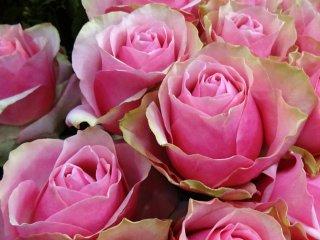 ดอกกุหลาบสีสวยช่อใหญ่ที่จะทำให้ผู้ได้รับเป็นปลื้มไปหลายวัน