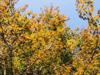 Autumn is in the air; the maple trees are starting to change color