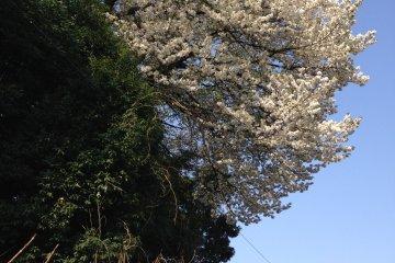 Yamazakura, Sakura yang Berjatuhan