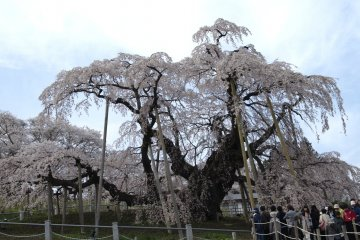 A beeline to behold the great tree and its blossoms
