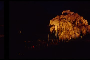 From a distance, a powerful spotlight illuminates the blossoms