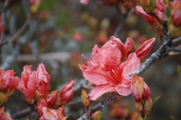 The Azaleas of Mount Katsuragi