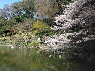 Деревья сакуры в самом пике цветения