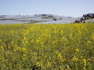 Công viên Hitachi Seaside Park: Cánh đồng hoa cài dầu vàng rực bên cạnh thảm hoa nemophila
