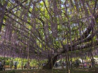Công viên Ashikaga Flower Park: Những bông hoa tử đằng màu tím này lại học được cách len lỏi, rũ xuống và khoe sắc
