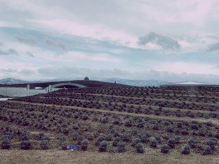 ภูเขาลาเวนเดอร์ในกลางเดือนเมษายน