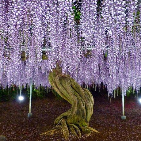 5월 아시카가 꽃 공원- 2부