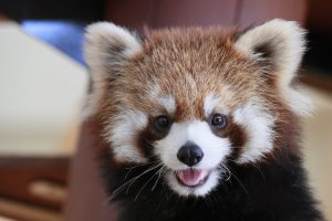 The Lesser Panda is one of the beloved animals at the zoo