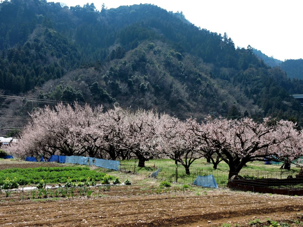 Plum orchard at the base of the hills