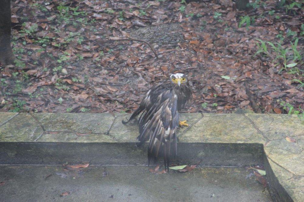 Một chú chim đại bàng không quen với cuộc sống trong lồng