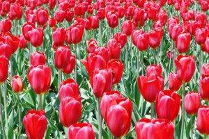 زهور أقحوان حمراء نضرة