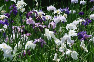 Irises in bloom in Itako