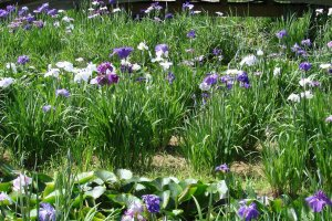 Irises in Itako