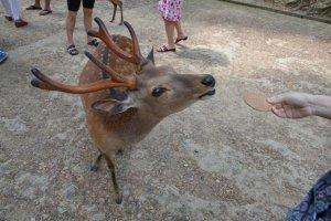 寺院里的鹿儿接受友人的喂食
