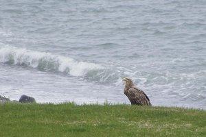 L'aigle à queue blanche, un animal aussi exceptionnel qu'insaisissable