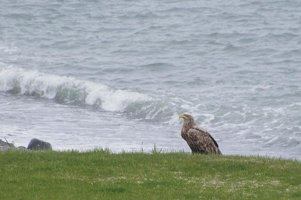 The elusive White-tailed Eagle