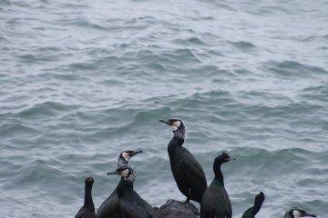 <p>Spectacled Guillemots congregate along the peninsula</p>