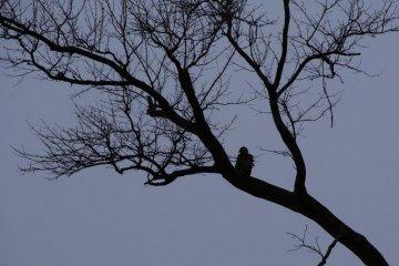 <p>White-tailed Eagle at dusk</p>