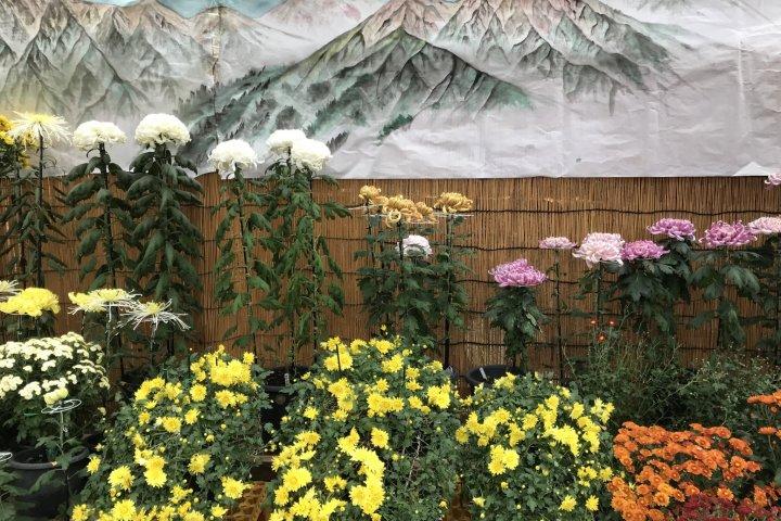 Urasa Chrysanthemum Festival