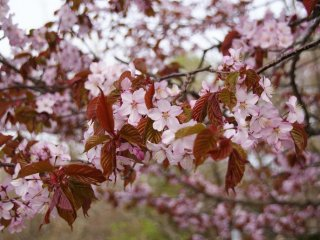 Sakura in Kushiro