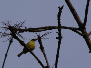 A Parus Major (Great Tit) sings its song